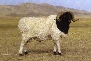 是新疆三个大尾羊品种之一