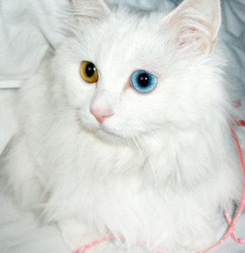 """5,背黑而腹白的狮子猫称为""""乌云覆雪""""   6,黑猫白爪的狮子猫称为""""踏"""