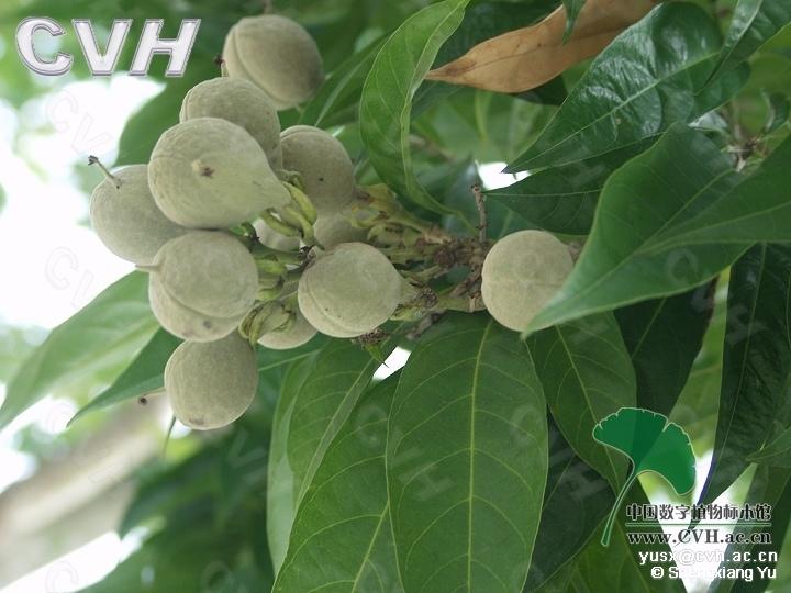 原植物:红翅槭为常绿乔木,高约10米;树皮淡褐色或暗灰色;嫩枝紫红