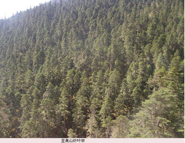 由耐寒的针叶树种为优势种组成的具有垂直地带性意义