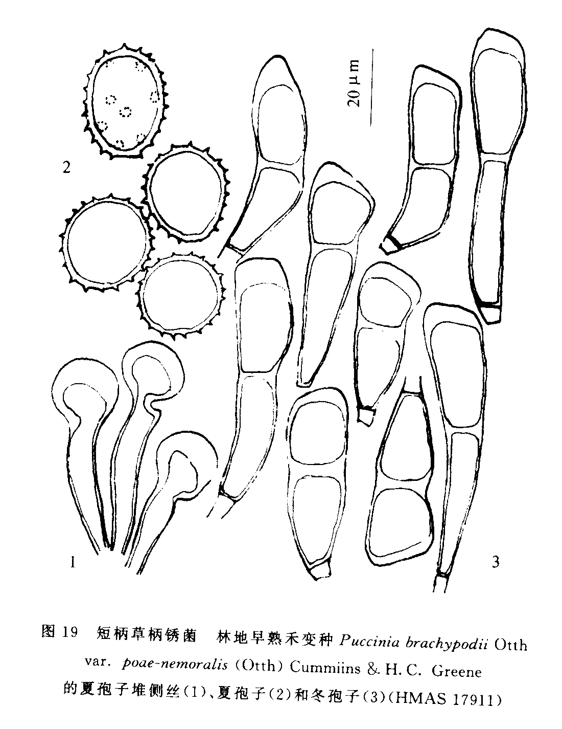 短柄草柄锈菌林地早熟禾变种