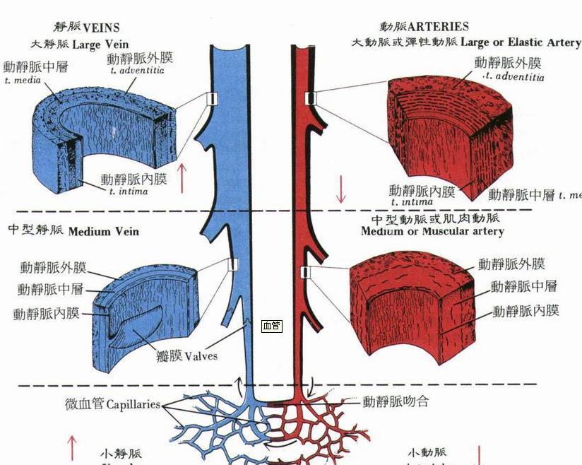 中动脉光镜结构图