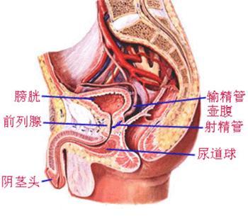 前列腺位置+图片+-+在搜图-前列腺图