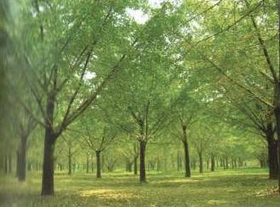 亚热带针叶林是一种常绿针叶乔木群落