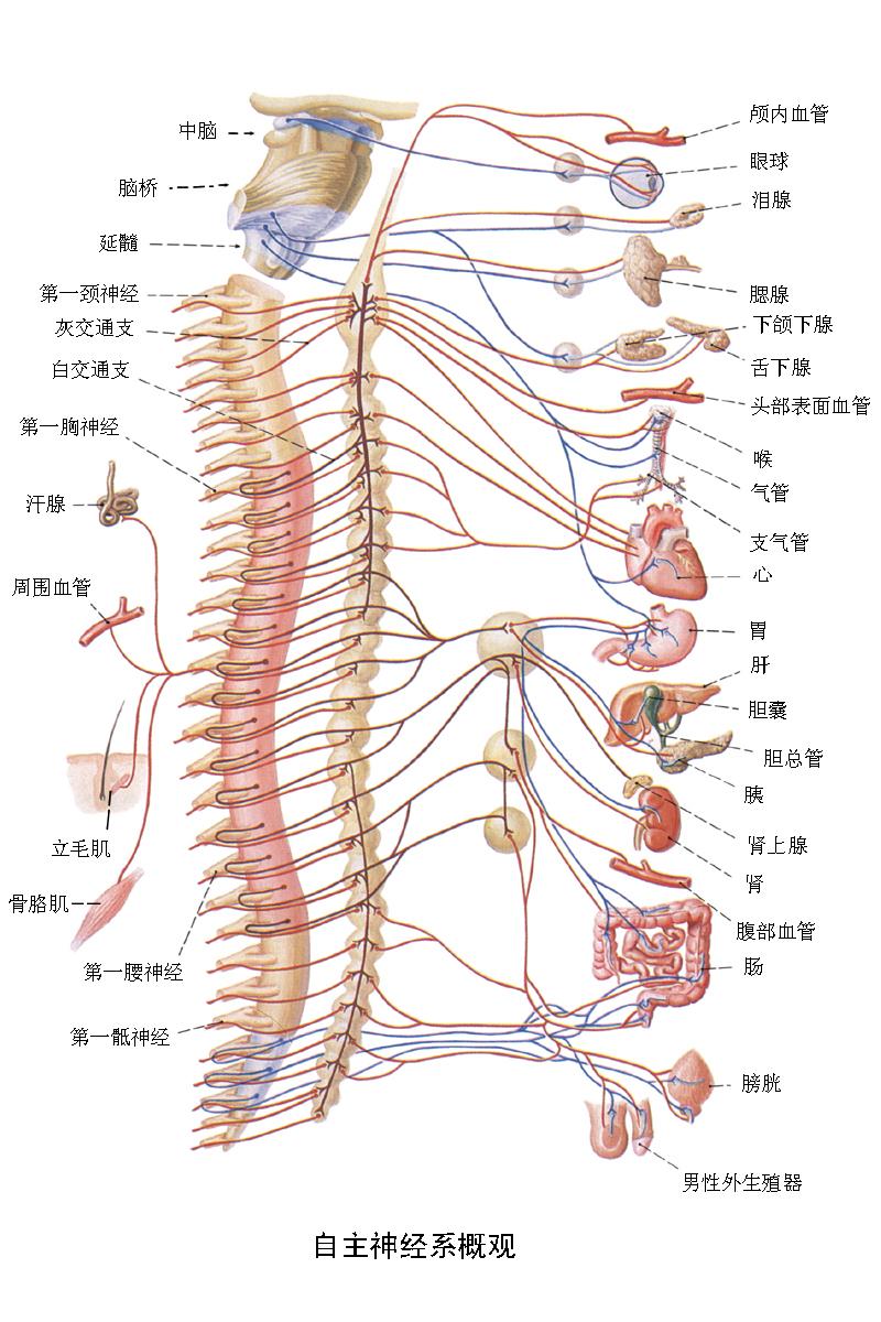外周部分包括12对脑神经和31对脊神经,它们组成外周神经系统。外周神经分布于全身,把脑和脊髓与全身其他器官联系起来,使中枢神经系统既能感受内外环境的变化(通过传入神经传输感觉信息),又能调节体内各种功能(通过传出神经传达调节指令),以保证人体的完整统一及其对环境的适应。 神经系统的基本结构和功能单位是神经元(神经细胞),而神经元的活动和信息在神经系统中的传输则表现为一定的生物电变化及其传播。 例如,外周神经中的传入神经纤维把感觉信息传入中枢,传出神经纤维把中枢发出的指令信息传给效应器,都是以神经冲动的形式