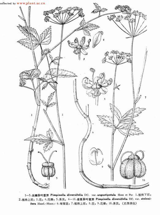 纲中文名:双子叶植物