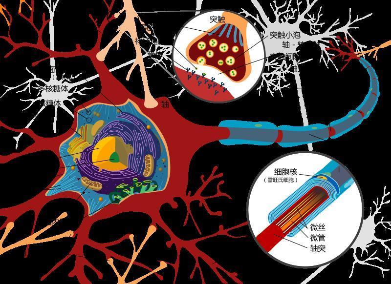 关于脊髓的解剖,错误的是正确答案:d解析:脊髓圆锥下端接无神经细胞