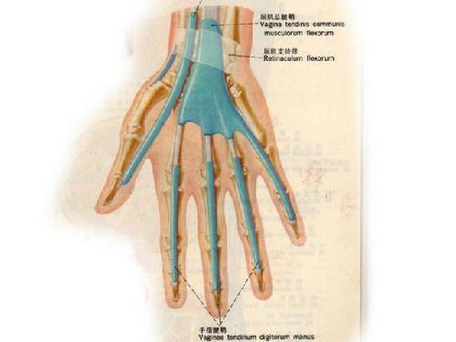 手腕骨骼结构图 p14.qhimg.com 宽500x375高