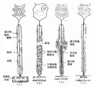 脊椎动物外周神经系统中包绕轴突形成髓鞘的胶质细胞