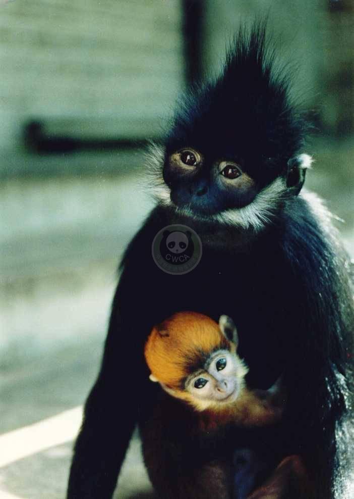 是黑叶猴等珍稀动物的理想栖
