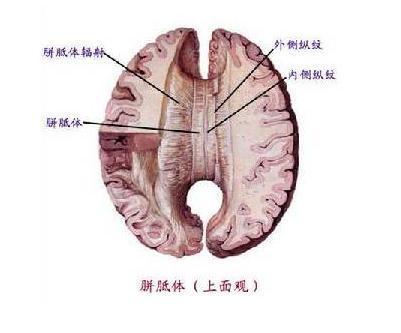 解剖學示意圖