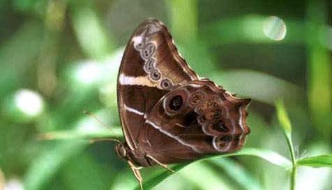 幼虫寄主为禾本科的刚莠竹