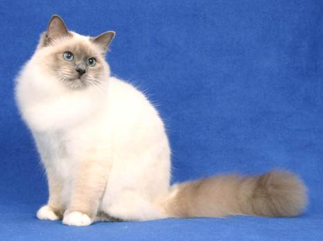 蓝色重点色猫