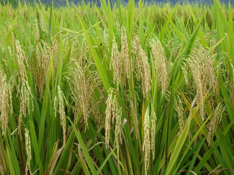 小学生水稻田园风景画