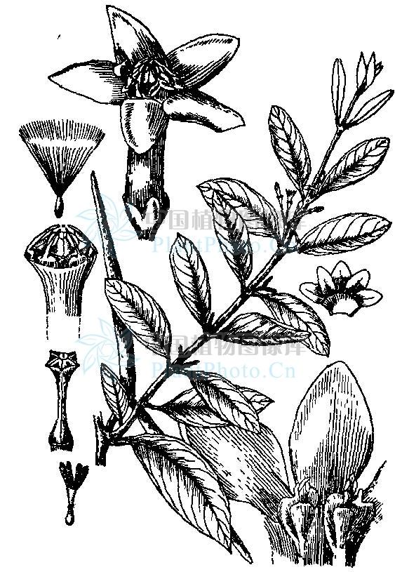 短柱弓果藤