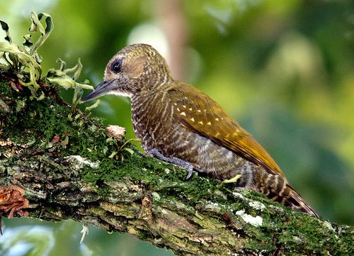 【中文名称】小啄木鸟