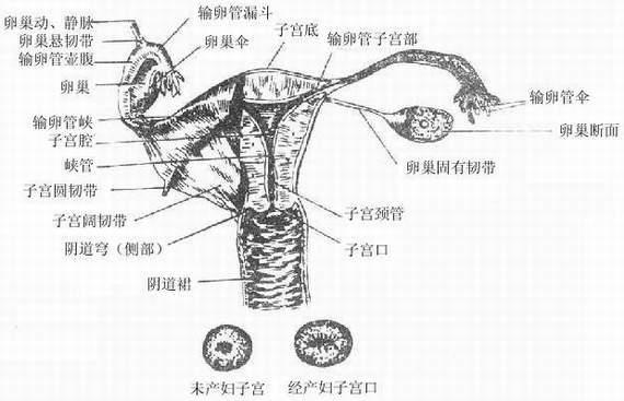 组织学变化主要是子宫肌细胞肥大
