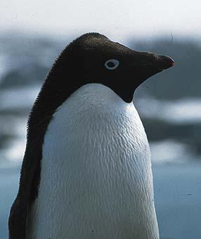 白企鹅图片大全可爱