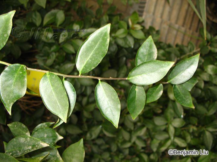编辑本段植物信息   种名:木麒麟