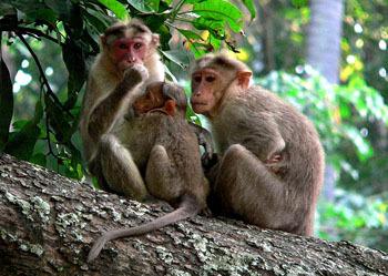 猕猴类是重要的实验动物