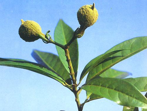 常绿乔木,高达30米,胸径100厘米;树皮灰色至灰褐色;嫩枝,花枝,果枝