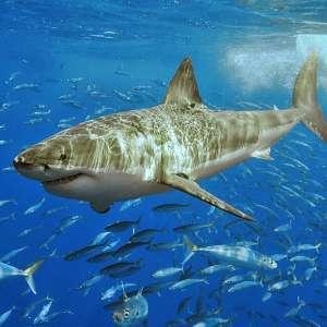吞食大型海生动物,有袭击小船和噬人纪录