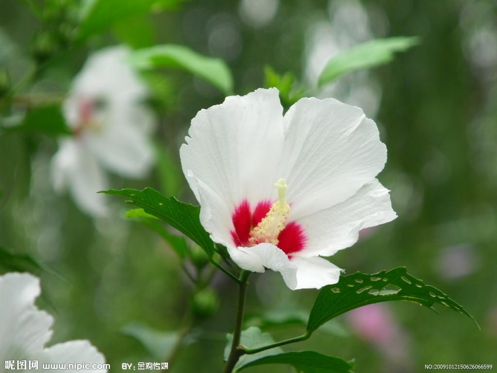 白色木槿花摄影图_摄影